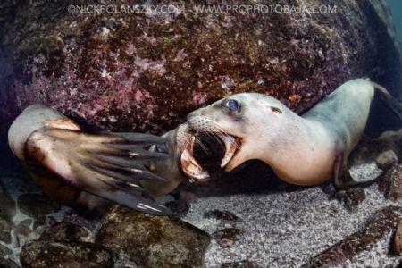 Sea Lion Battles by Nick Polanszky