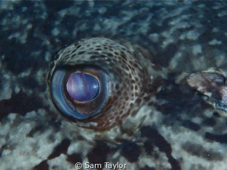 Eye to eye with a very large Potato Cod by Sam Taylor