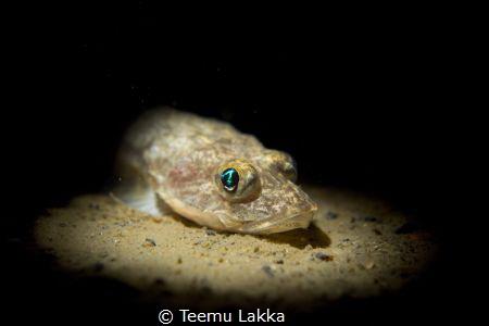 Freshwater Fourhorn Sculpin by Teemu Lakka