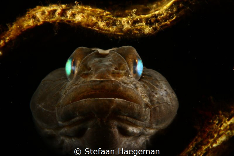 Black Goby in shell (Grevelingenmeer - Zealand) by Stefaan Haegeman