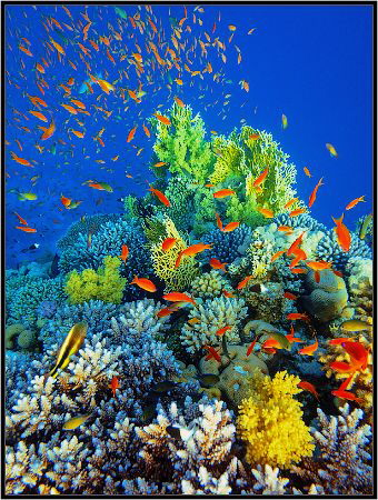 Coral reef an acropor with a flock of antias. by Sergey Lisitsyn