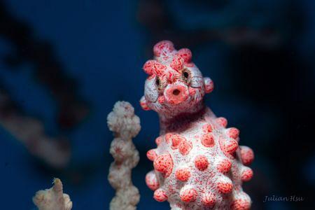 Bargibant's seahorse by Julian Hsu