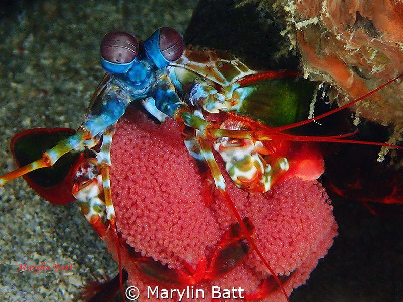 Mantis shrimp with eggs by Marylin Batt