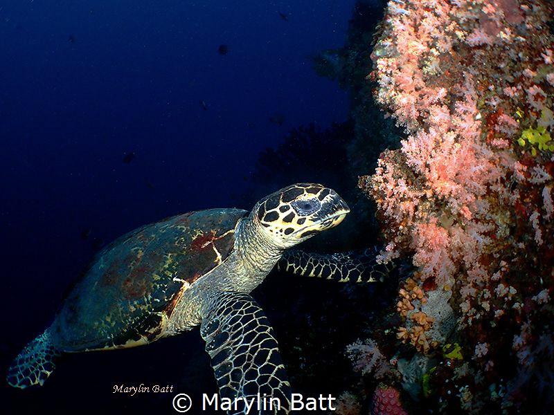 Hawksbill Turtle by Marylin Batt