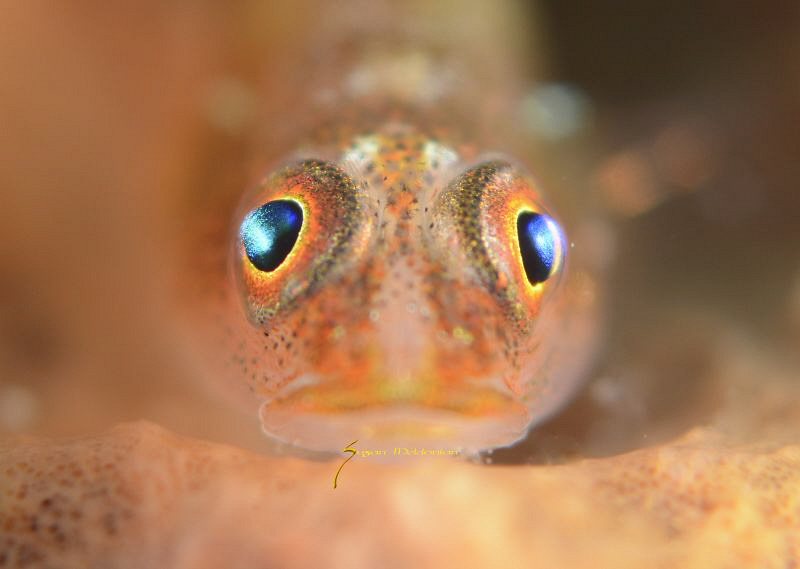 Common Goby close up by Suzan Meldonian