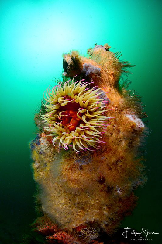 Dahlia anemone (Urticina felina),False bay, South Africa. by Filip Staes