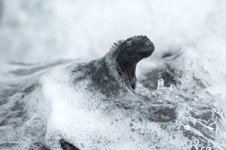 Marine Iguana, Isabella, Galapagos. 2006. Nikkor 70-300mm. by Chris Wildblood