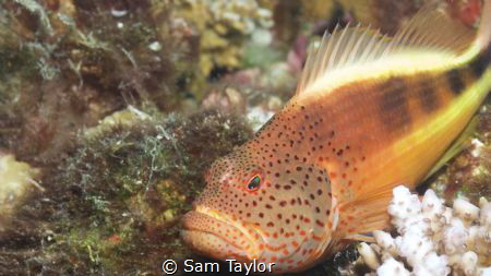 Blackspot Hawkfish in closeup by Sam Taylor