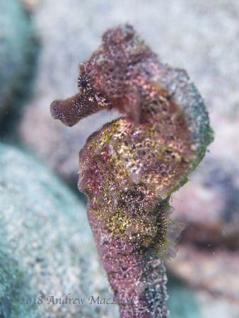 Sea Horse by Andrew Macleod