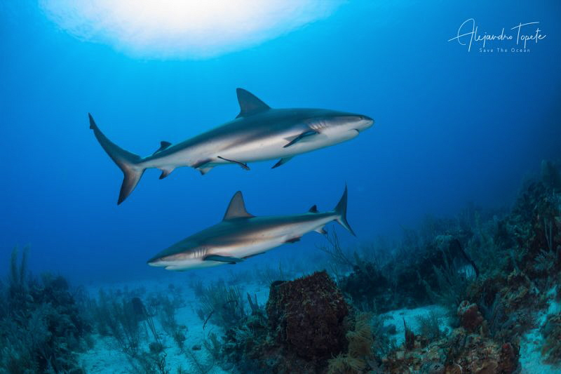 Two sides sharks, Gardens of the Queen Cuba by Alejandro Topete