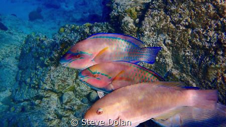 Trio of Princess Parrots cruising a reef in St. Thomas. T... by Steve Dolan