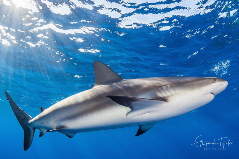 Reef Shark and the Blue, Gardens of the Queen Cuba by Alejandro Topete