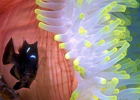 "Three-Spot Dascyllus, the ""other"" anemonefish-- Wailigi L... by Andrew Dawson"