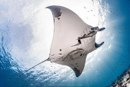 Giant Pacific Manta glides overhead at La Reina by Nick Polanszky