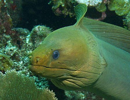 This beautiful Green Moray swam freely along side me in U... by Holly Heffner 