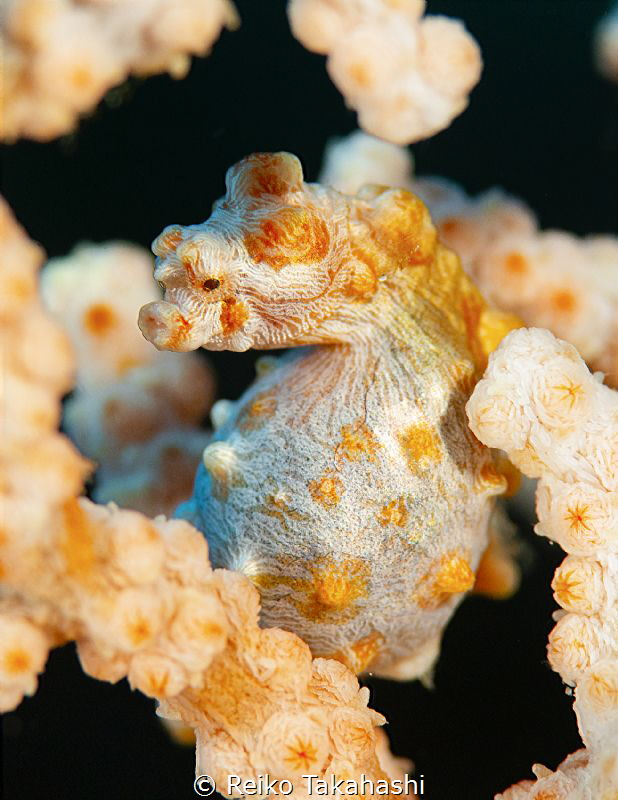 The mother of Pygmy seahorse gives eggs to the father's p... by Reiko Takahashi