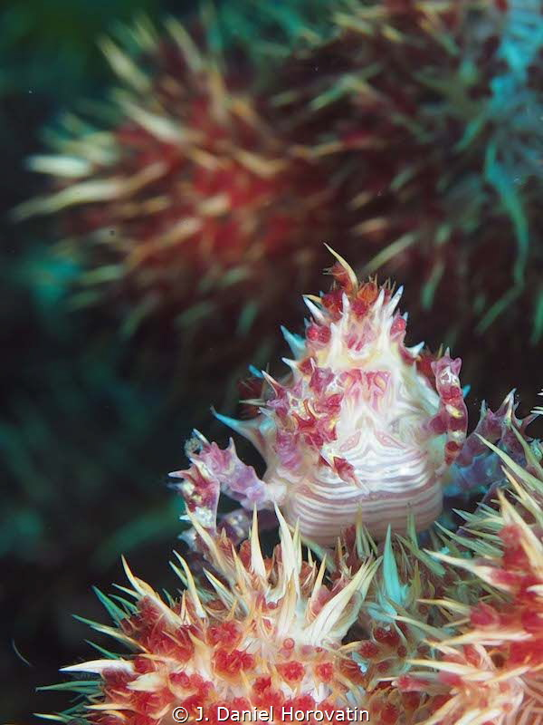 Candy crab by J. Daniel Horovatin