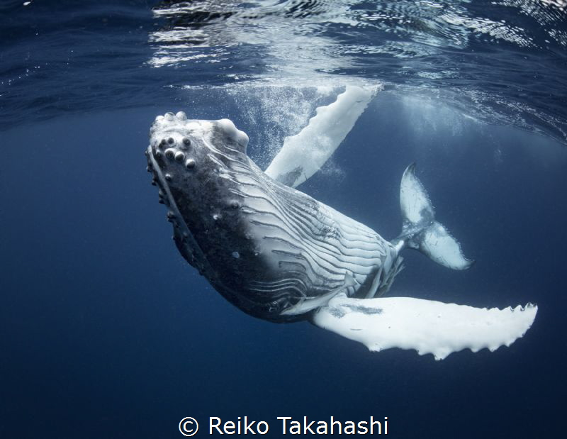I encountered this baby humpback in Tonga , this year. I ... by Reiko Takahashi