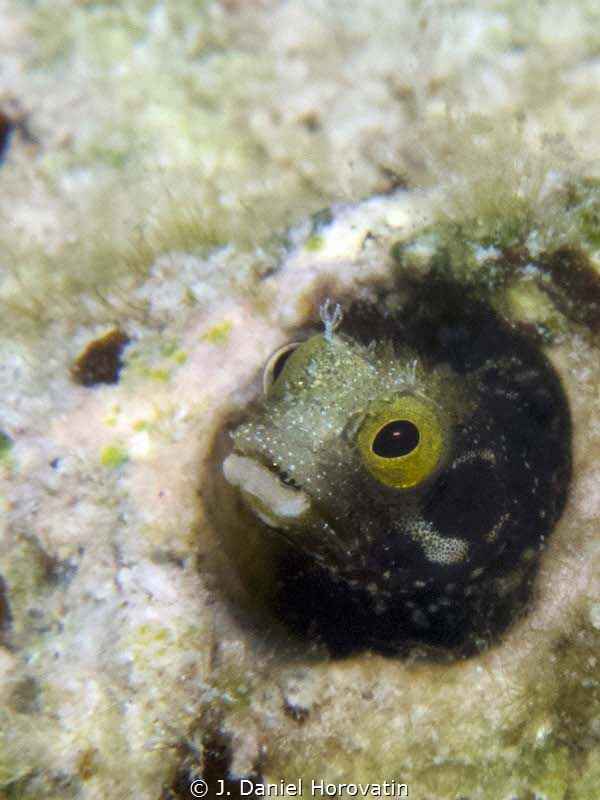 Spinyhead blennie peering out of its wormhole abode. by J. Daniel Horovatin