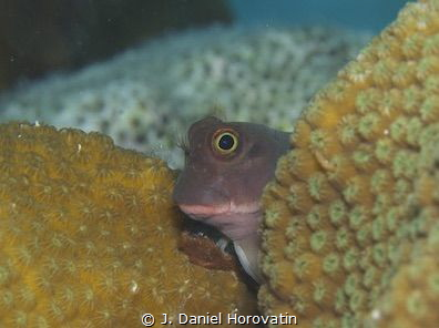 Redlip blenny peering around coral mound. by J. Daniel Horovatin