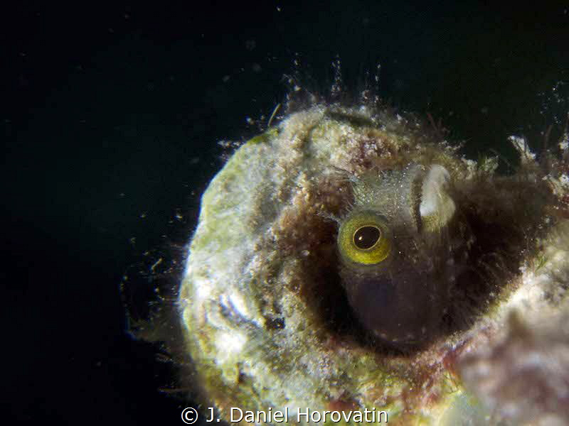 A spinyhead blenny look for its lunch by J. Daniel Horovatin