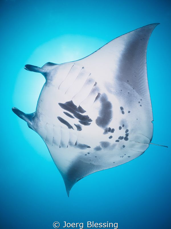 Reef  Manta at the cleaning station by Joerg Blessing