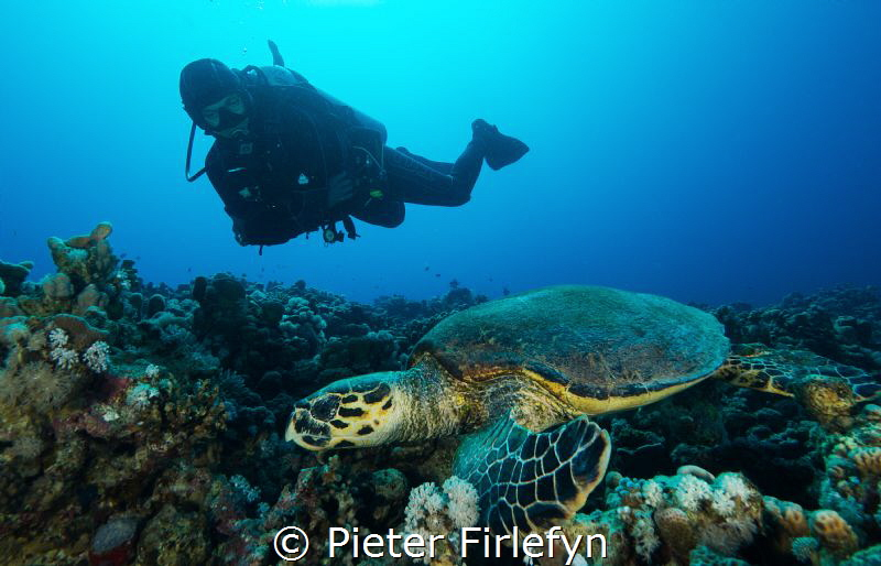 Hawksbill with diver by Pieter Firlefyn
