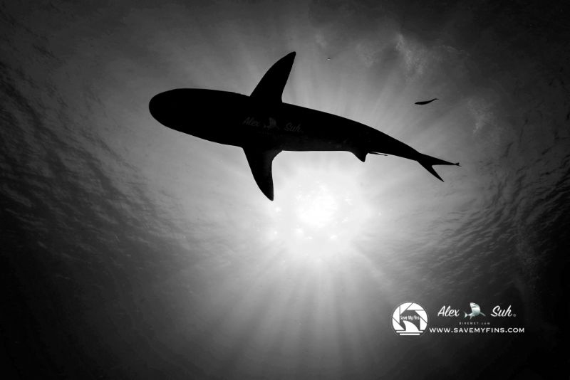 Silhouette of reef shark under the sun. by Alex Suh