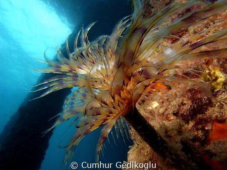 Bispira volutacornis by Cumhur Gedikoglu
