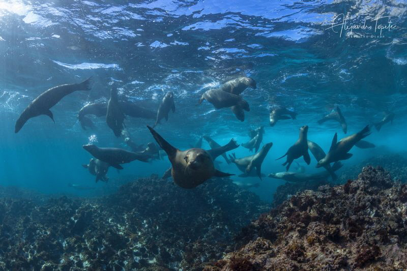 Full of sea Lions, Magdalena México by Alejandro Topete
