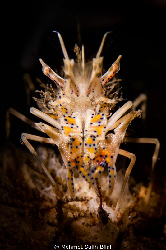 Tiger shrimp with snoot torch. by Mehmet Salih Bilal