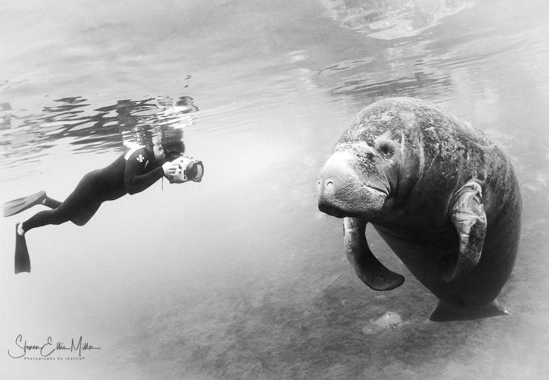 Congrats. to the Florida Manatee for being upgraded from ... by Steven Miller