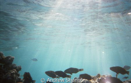 Snorkeling in the shallow passes between motus in Tikehau... by Andrew Shannon