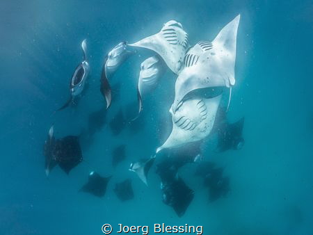 Mantas feasting on plankton at Hanifaru Bay. by Joerg Blessing