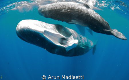 Sperm whale showing me the sockets in the upper jaw into ... by Arun Madisetti