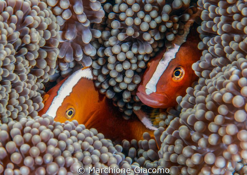 Sguardi .Clown fish and anemone. Indonesia Bali by Marchione Giacomo