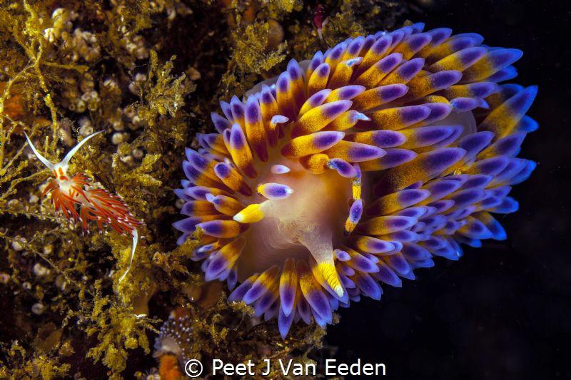 The meeting: Orange-eyed Nudibranch and Gas flame nudibranch by Peet J Van Eeden