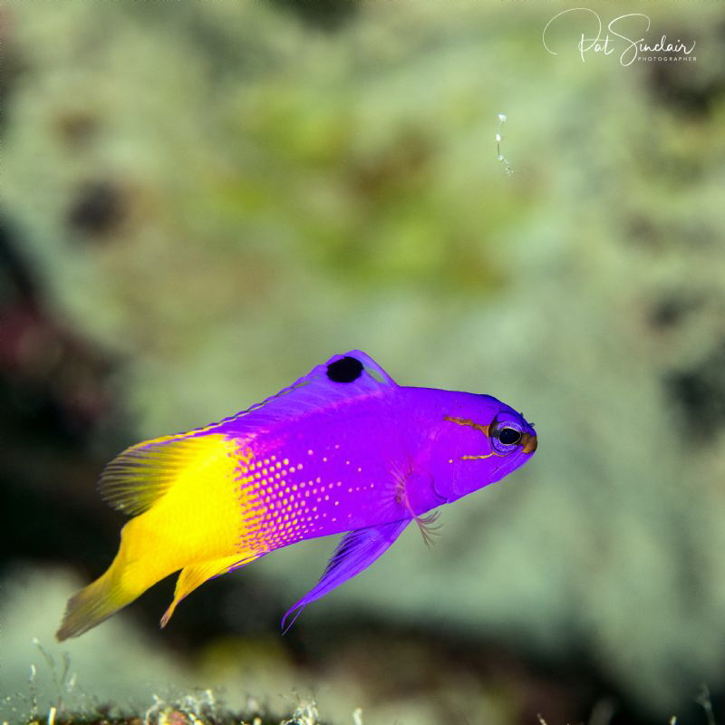 Bonaire - I found this fairy basslet swimming on the Capt... by Patricia Sinclair