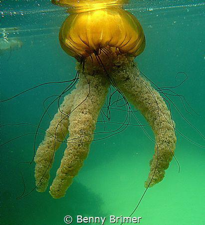 Sea Nettle, Monterey California by Benny Brimer