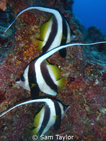 These 3 Longfin Bannerfish almost posed perfectly 4 me. T... by Sam Taylor