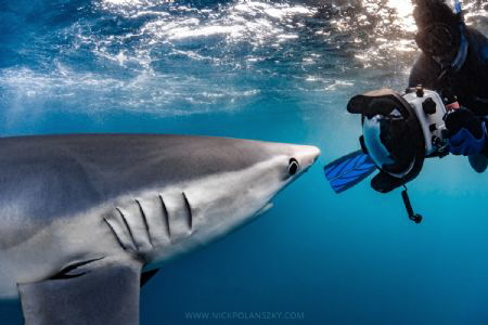 Blue Shark getting up close and personal by Nick Polanszky