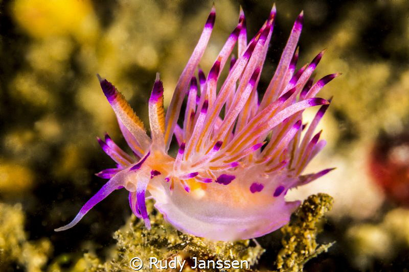 Flabellina by Rudy Janssen