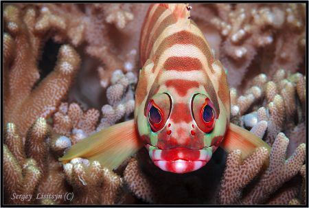 Close up of the colourful tropical fish sitting among cor... by Sergey Lisitsyn