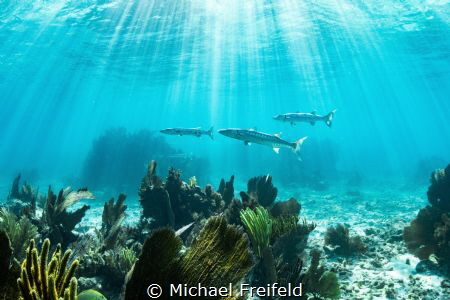 An iconic Florida Keys scene. Barracuda on the prowl for ... by Michael Freifeld