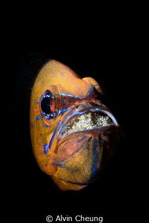 Cardinalfish by Alvin Cheung