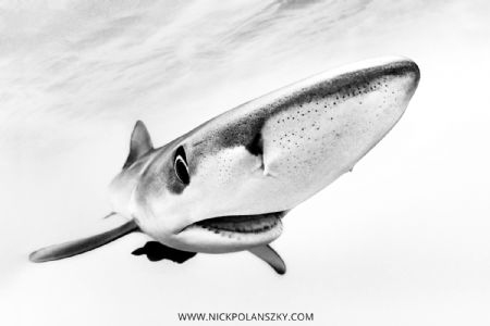 Blue Shark coming in for a closer inspection in-between c... by Nick Polanszky