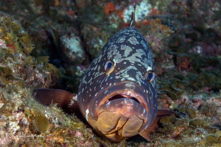 Grouper , La Restinga by Claude Lespagne