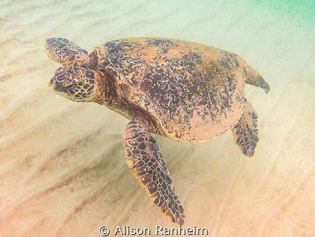 Turtle, Mākena Landing, Maui by Alison Ranheim