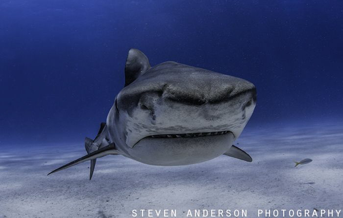 Always worth a second look! Small Tiger Shark checking ... by Steven Anderson