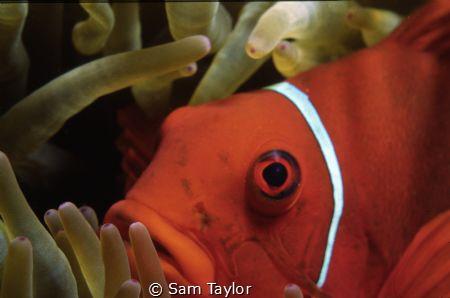 Spinecheek anemonefish portrait. Nikons 5 macro framer & ... by Sam Taylor